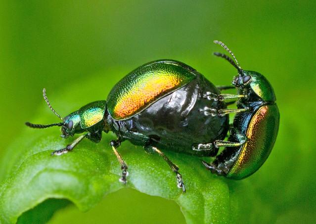 Green Dock Leaf Beetles (gastrophysa viridula)