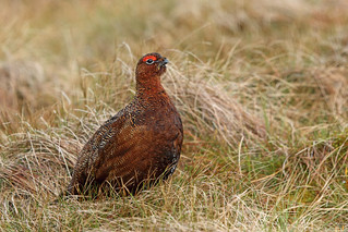 Red Grouse, Langdon Beck, Durham, England