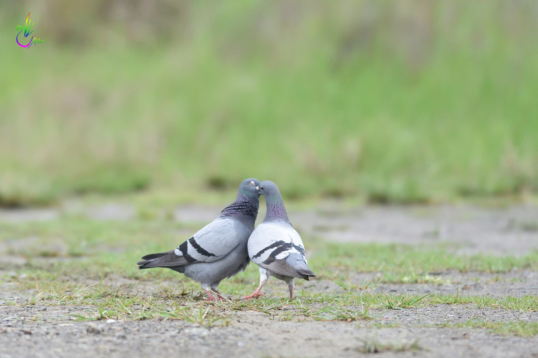 Pigeon_1886
