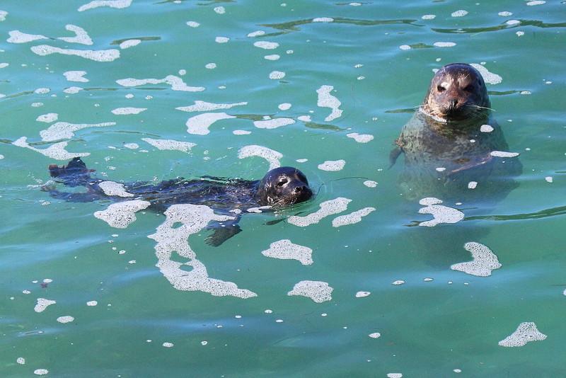 IMG_2519 Harbor Seal