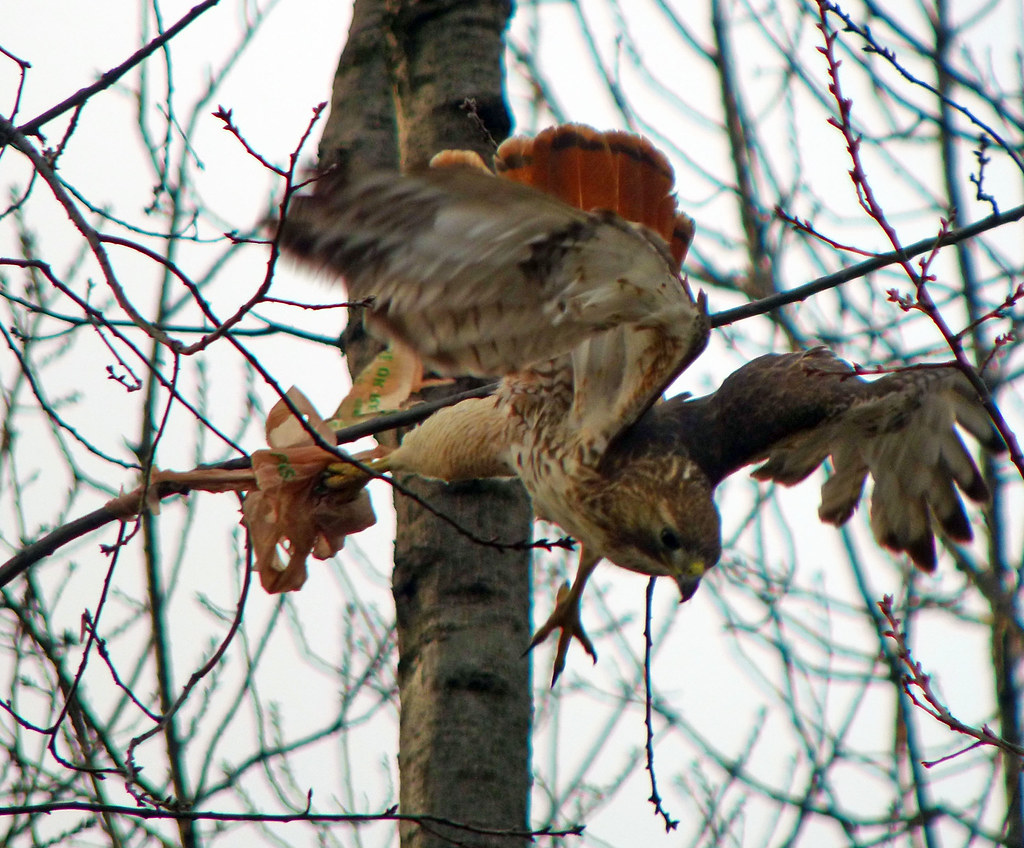 Male red tail with plastic bag in Tompkins Square