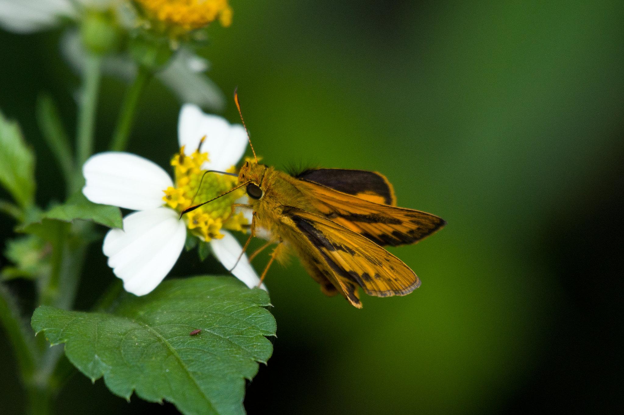 試鏡頭之弄蝶和紅嘴黑鵯
