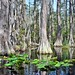 Cypress, Blackwater and Lily Pads by TimothyJ