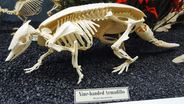 armadillo-skeleton