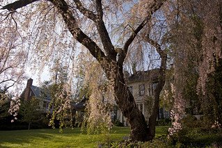 Weeping cherry past peak