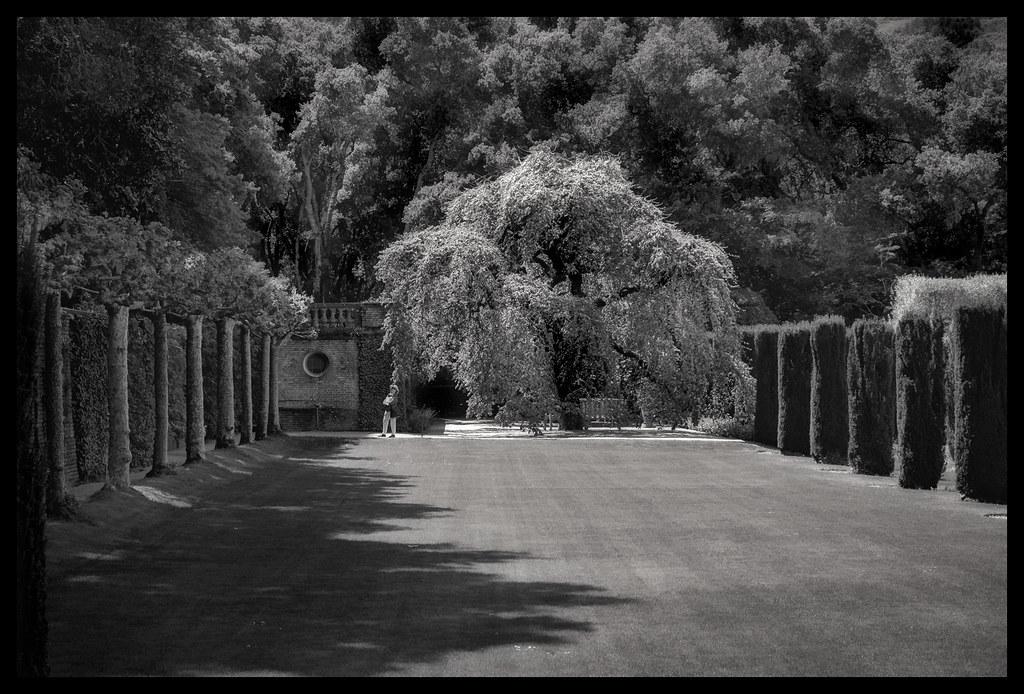 Camperdown Elm - Filoli - 2014