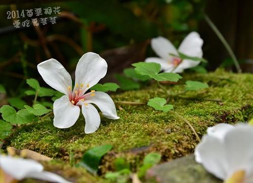 2014油桐花_015.jpg