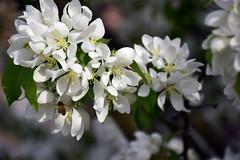 White-Good-Smelling-Tree-Buzz