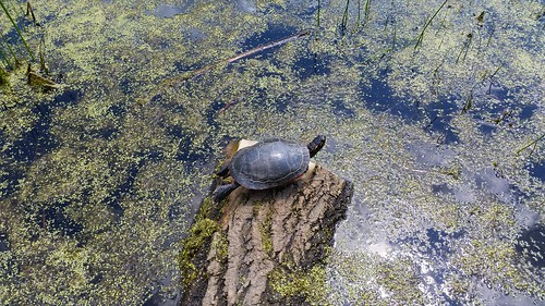 Turtle, Teal Pond