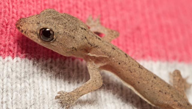 Gecko #1