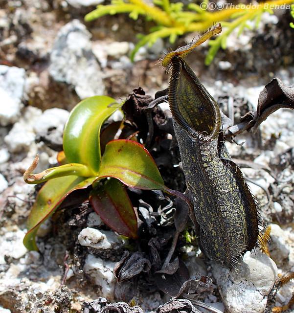 20140306_Nepenthes_nigra_Sulawesi
