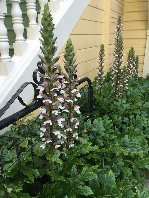 Acanthus flowers