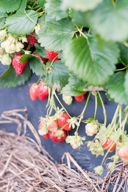 may 14. last day of prek. strawberry picking_0009