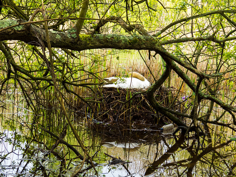 Swan on it's nest