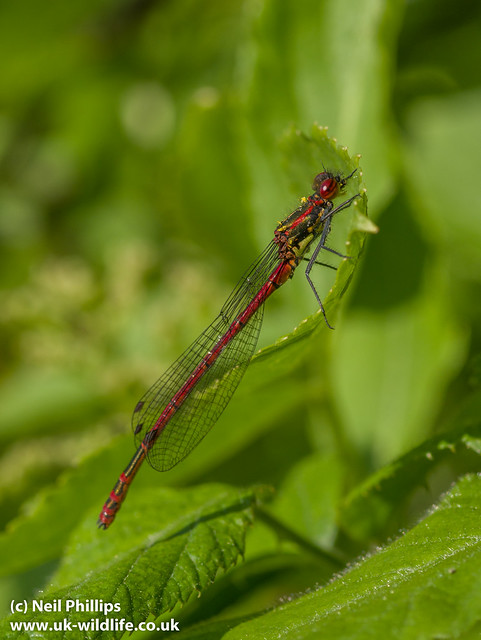 large red damselfly-7
