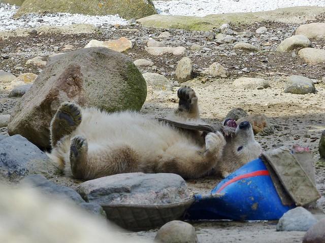 Polarbear Lale