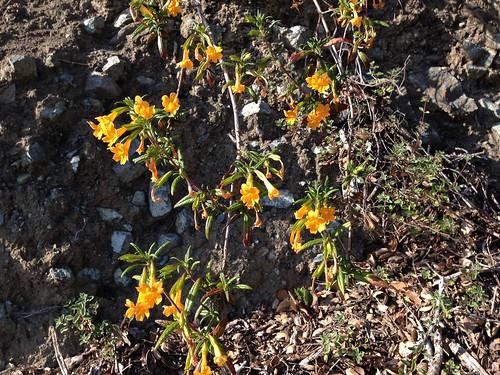 IMG_2565 Wild flowers on Sawyer Camp Trail