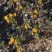 IMG 2565 Wild flowers on Sawyer Camp Trail