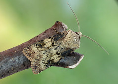 2092 Shuttle-shaped Dart - Agrotis puta