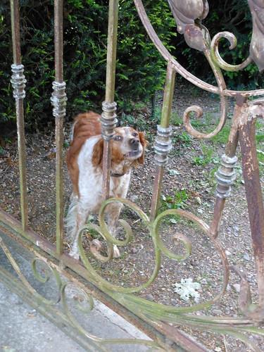 Dolly, a very naughty dog