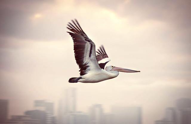 Pelican cruisin. South Perth, Western Australia