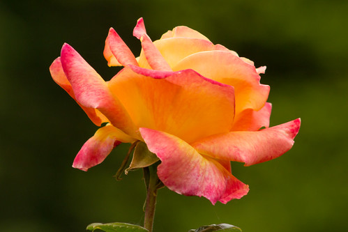 flower nature rose oregon lovepeace rainieroregon