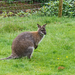 Wallaby at Dartmoor Zoo