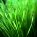 Wheat Grass by !efatima