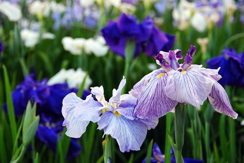 Iris Matsuri 031r