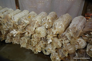 mushrooms-gk-farm.jpg