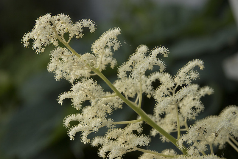 Rodgersia blooms