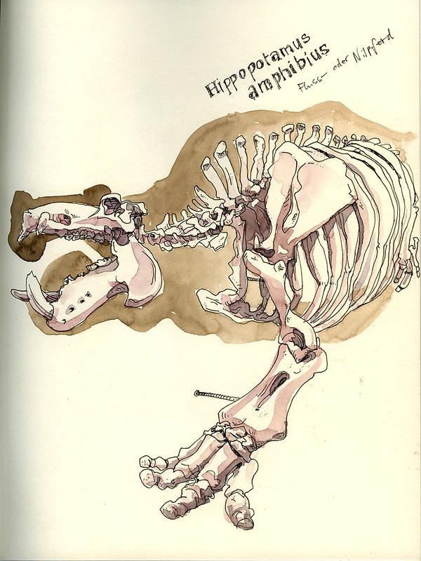 Hippotamus