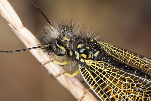 Libelloides corsicus (Rambur, 1842) - Male