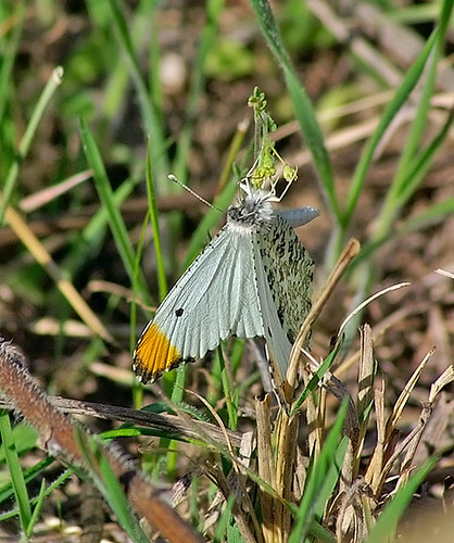 nature butterfly insect texas wildlife lepidoptera decatur lbjgrasslands falcateorangetip