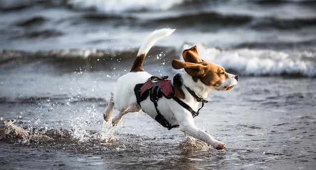 Paddling beagle [2A6A2312]
