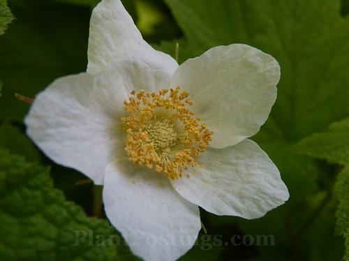 thimble flower