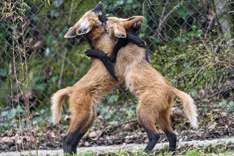 Fighting young maned wolves III