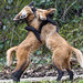 Fighting young maned wolves III by Tambako the Jaguar