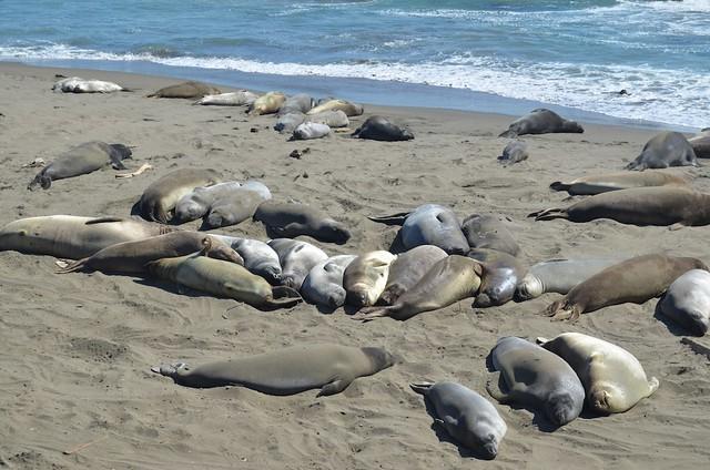 Piles of Elephant Seals