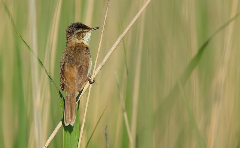 Paddyfield Warbler