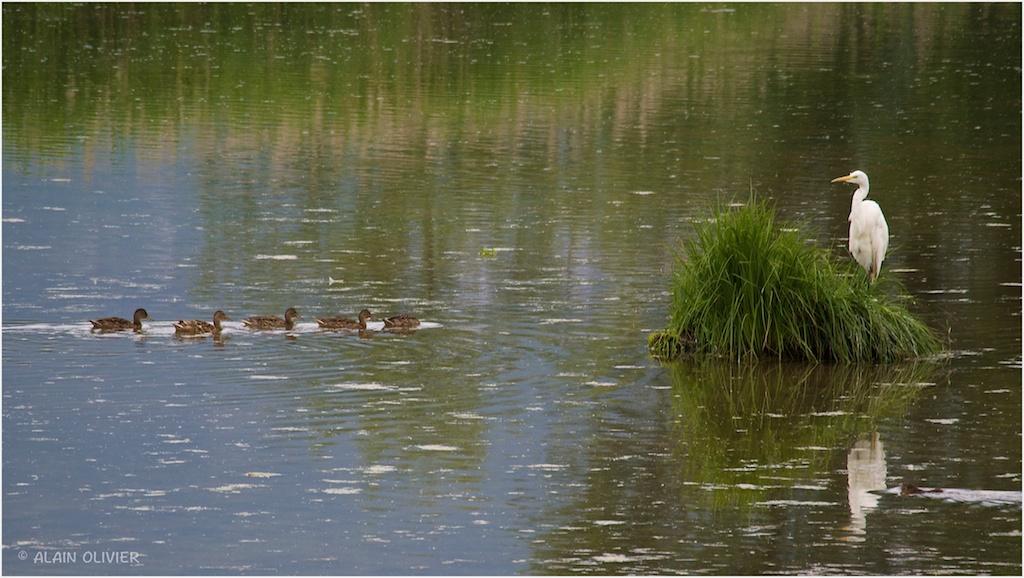 D'hérons dans l'eau 14359826402_84f52d76dd_b