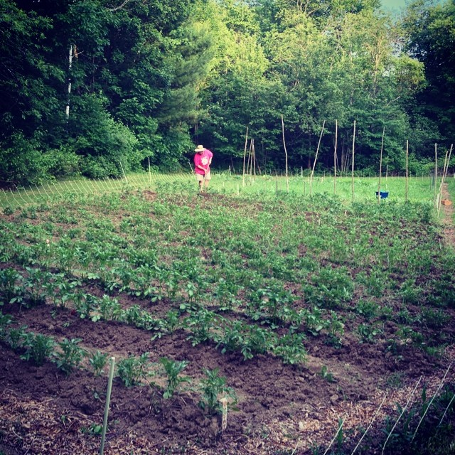 Alex did all the potato hilling, bless him. #organic