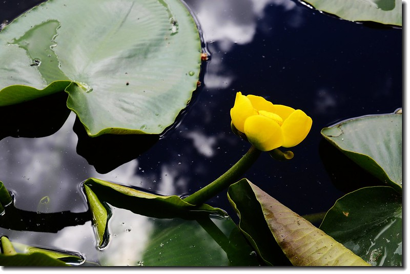 Yellow Pond Lily 4