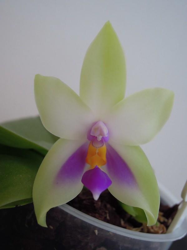 Phalaenopsis bellina - Seite 2 14442072643_02b6eff429_c
