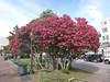 oleander trees