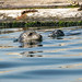 Poulsbo-July20Harbor seals - Poulsbo, WA by Belltown