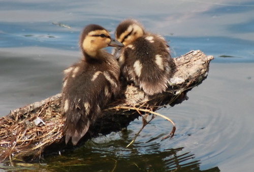 ducklings mallard anasplatyrhynchos babyducks birdsofwashington washingtonbirds