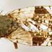 Small photo of Tephritidae: Tephritis formosa