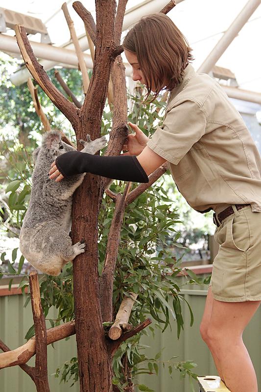 KoalaSanctuary10