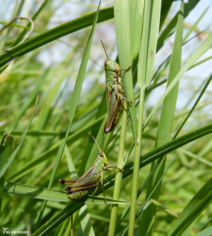 P1080148 - Grasshoppers